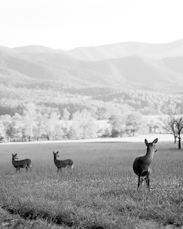 Cades Cove - Startled Deer