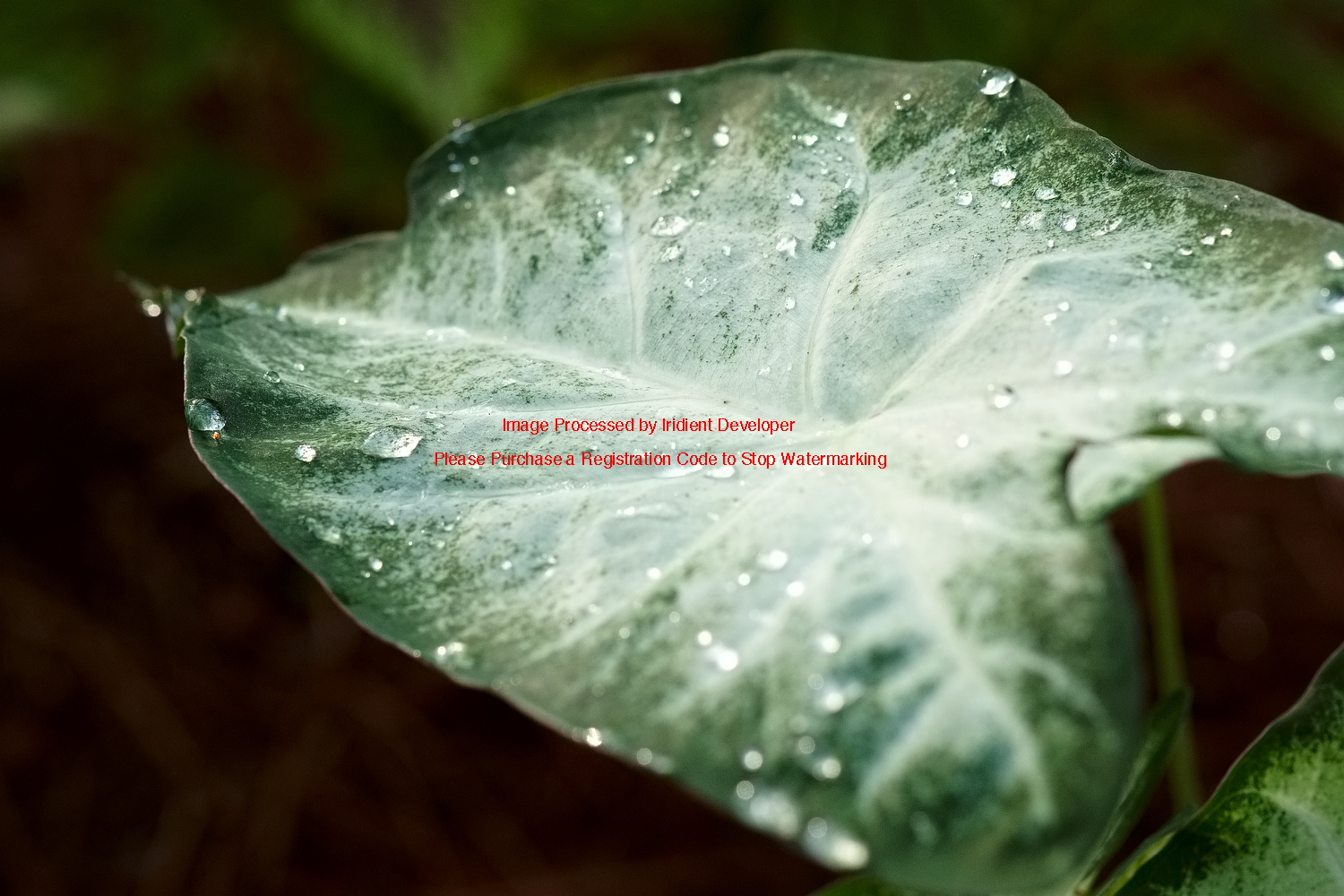 caladium leaf with rain drops